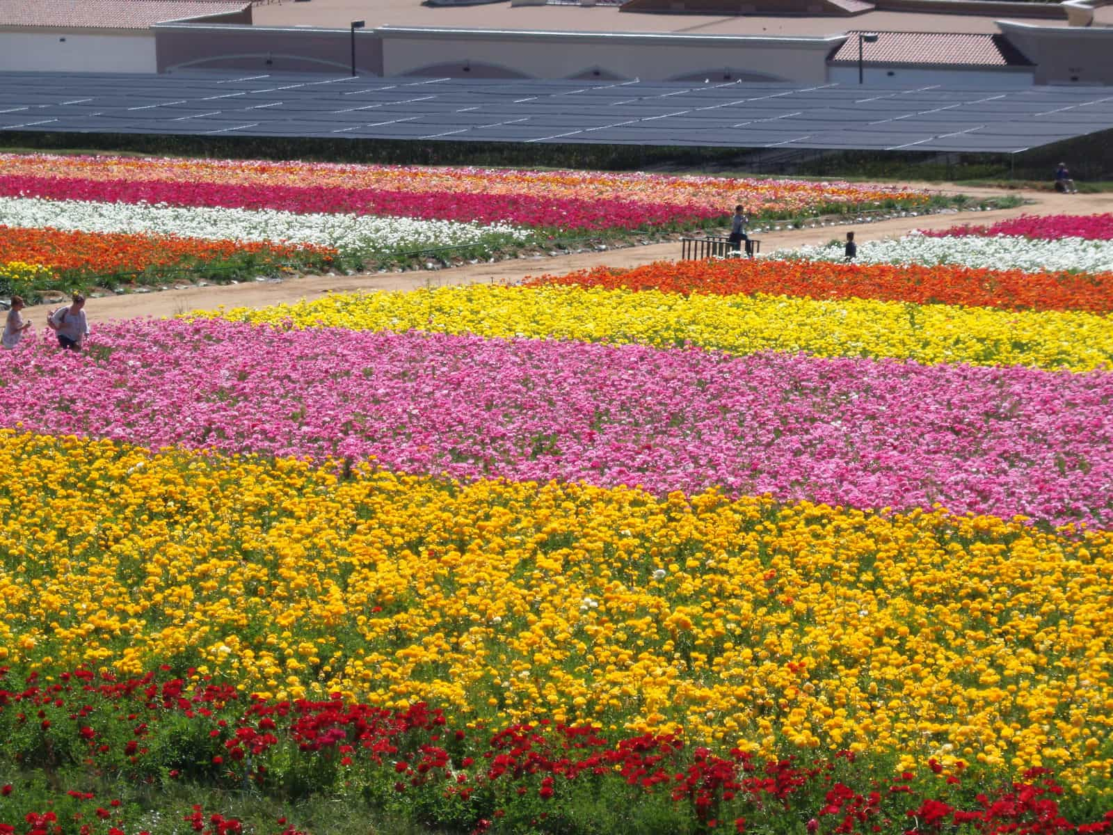 DAY 7 – The Flower Fields in Carlsbad