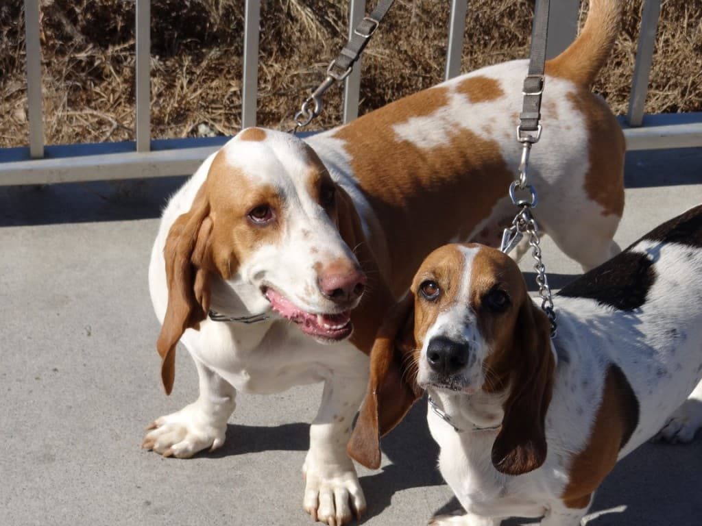 Basset hounds in Carlsbad
