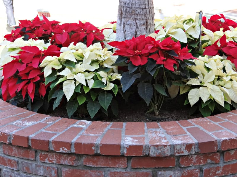 Holiday poinsettias at Carlsbad Village Faire